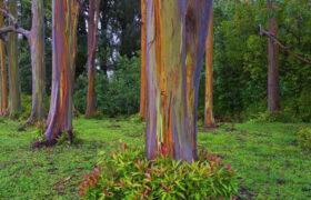 با اکالیپتوس رنگین کمانی، این پدیده زیبا بیشتر آشنا شوید