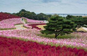 پارک هیتاچی؛ یکی از جذابیت های ژاپن در فصل بهار