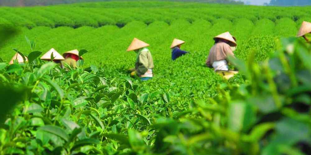 مزار کشت چای Daehan Dawon