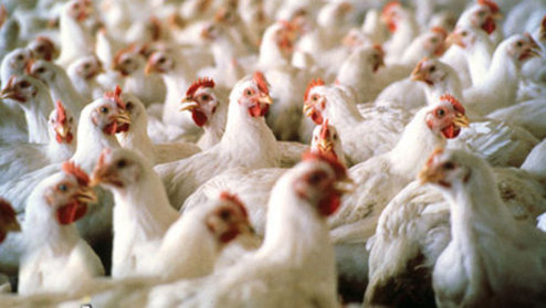 چالش های پیش روی صادرات مرغ