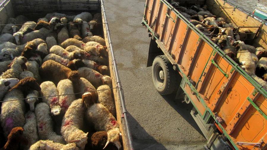 کشف ۲۰۰ گوسفند قاچاق در فراشبند