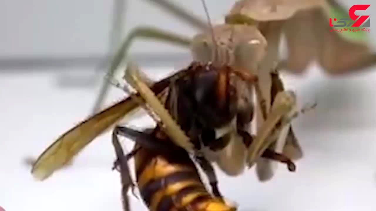 حمله مرگبار آخوندک به زنبور سرخ! + فیلم