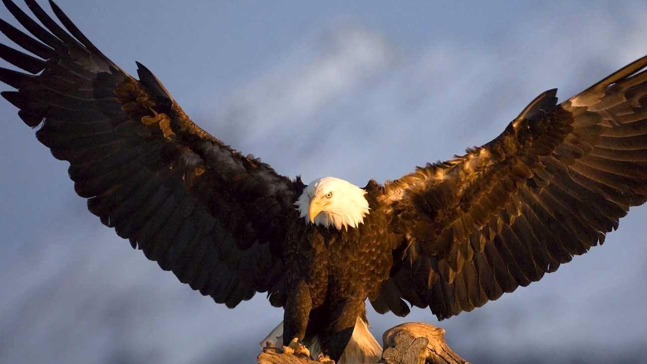 عقاب کوهستان به طبیعت گیلان بازگشت