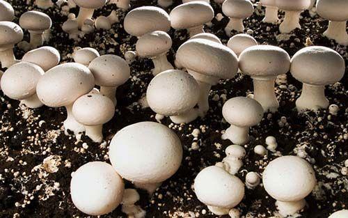 صادرات ۲۰ درصد از تولیدات قارچ داخلی به کشورهای مختلف