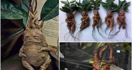 گیاهی که ریشهای شبیه انسان دارد! + عکس