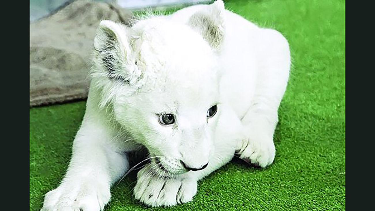 مرگ سومین توله شیر سفید هویزه + جزئیات