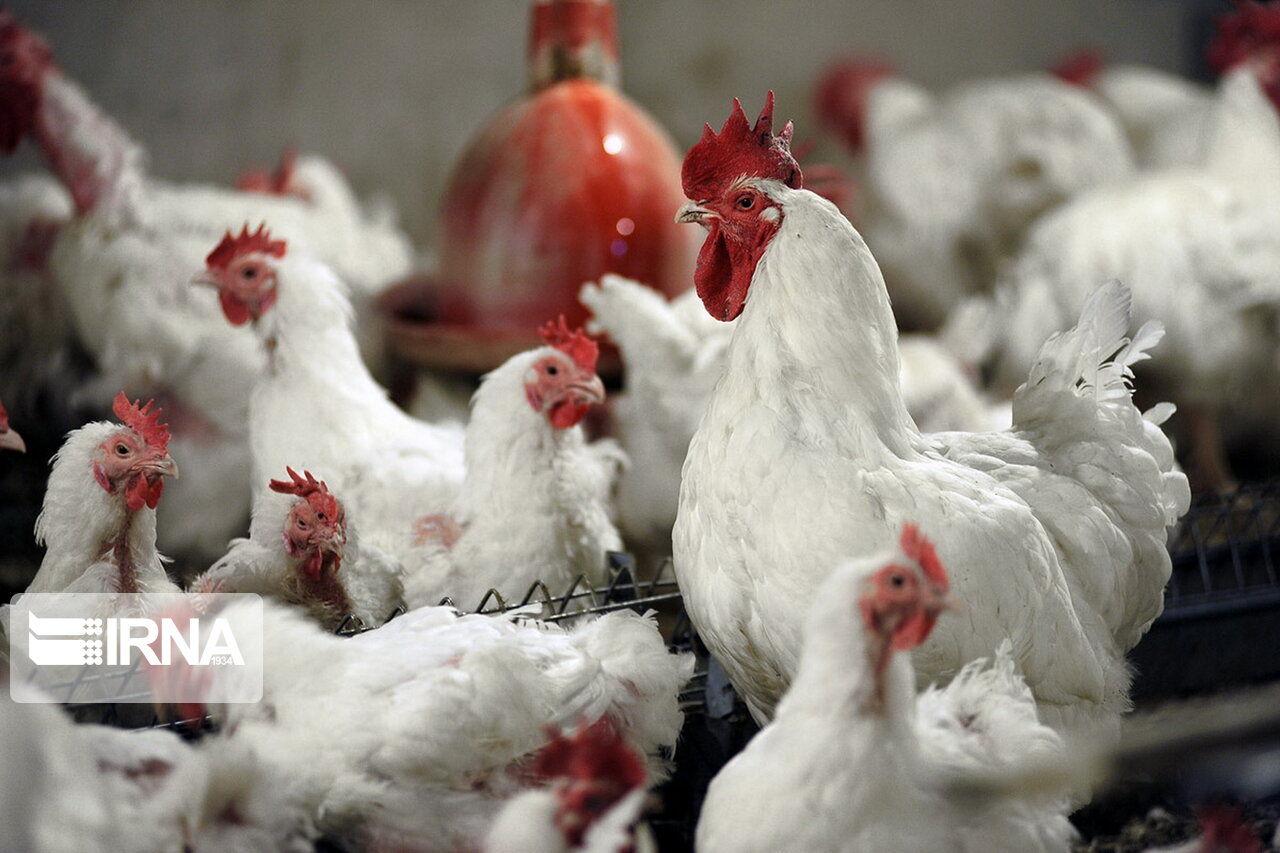 با قیمت ۱۵ هزار تومان تولید مرغ به صرفه نیست