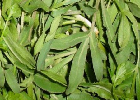 خواص گیاه قازیاقه برای درمان انواع بیماریها