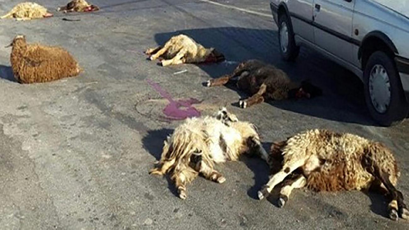 ام وی ام ۱۰ گوسفند را کشت / در مرند رخ داد
