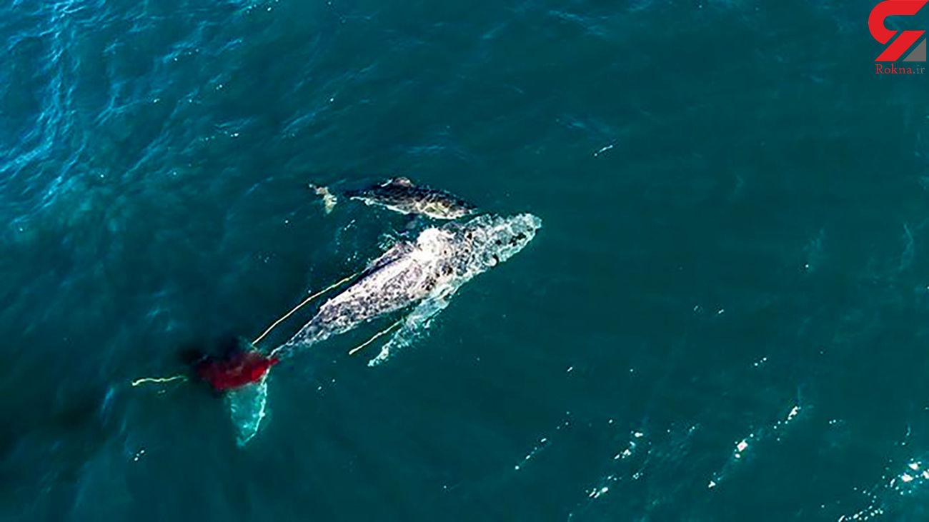 فیلم / نهنگ ۸ متری طعمه کوسه خون خوار شد