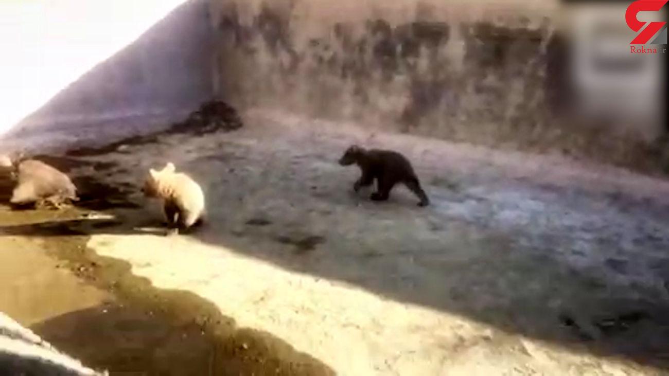 نجات  ۲ توله خرس گرفتار در استخری در گیلانغرب + فیلم