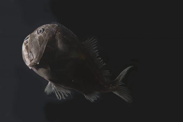 کشف 16 گونه جدید از ماهی فوق تاریک دانشمندان را شگفتزده کرد