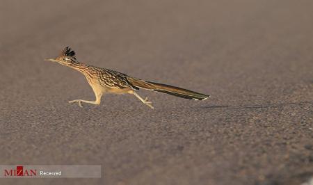 پرنده معروف کارتون میگ میگ در نیو مکزیکو + عکس