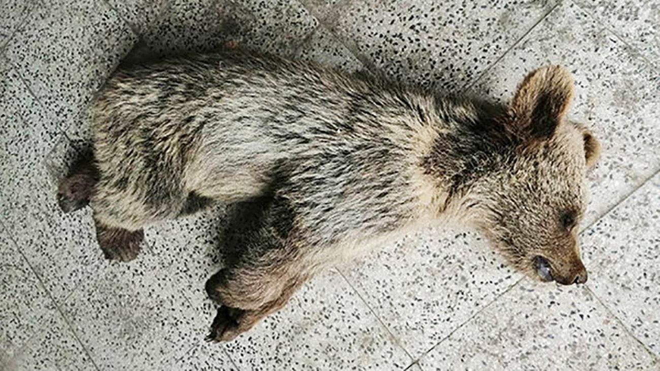 مرگ دردناک توله خرس در مشگین شهر / مقصر کیست؟! + عکس دلخراش