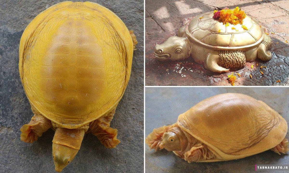 جنجال مذهبی در نپال بعد از پیدا شدن لاکپشت طلایی + عکس
