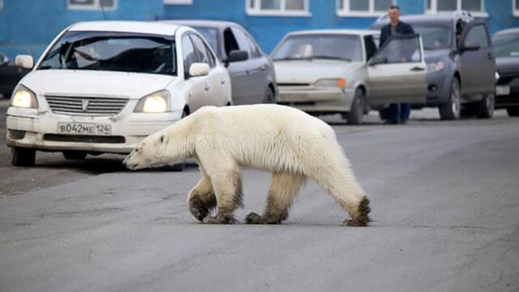 خرس قطبی مردی را در نروژ خورد + جزییات