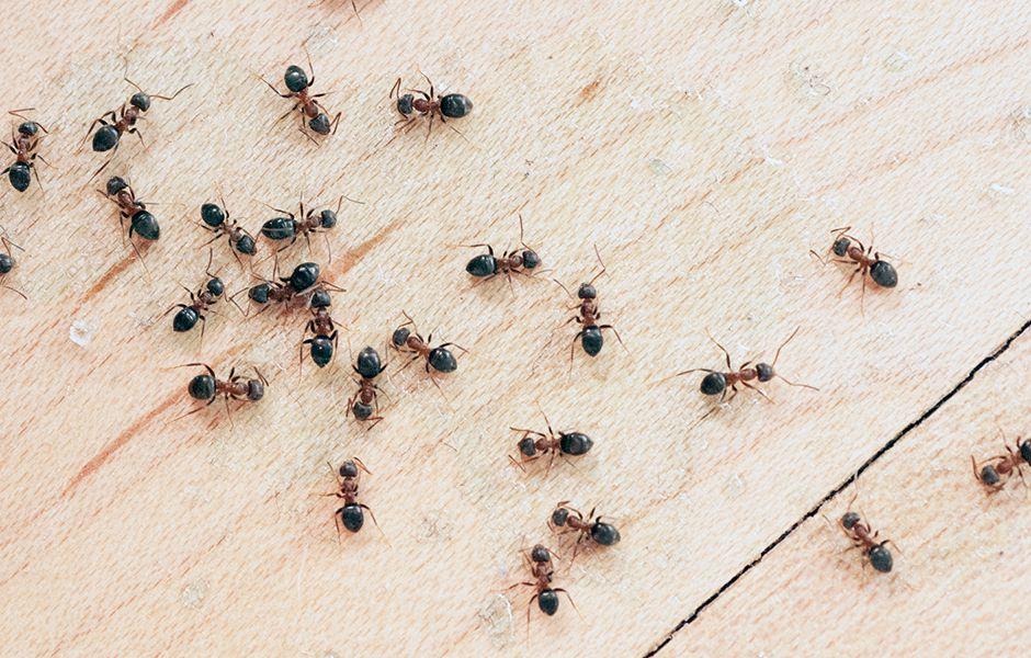 درمان کرونا با مورچه؛ محدود کردن گسترش میکروب
