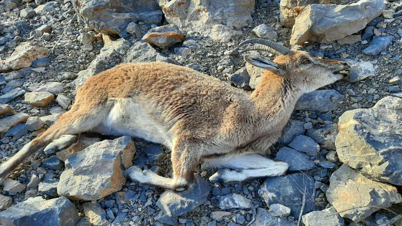 کشف لاشه بز وحشی در منطقه حفاظت شده قمصر و برزک