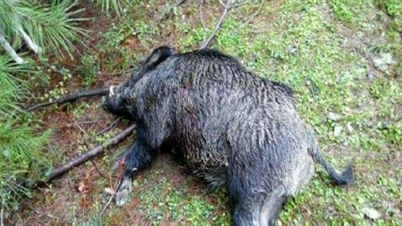 شکارچی۳ قلاده گراز در چرام به دام افتاد