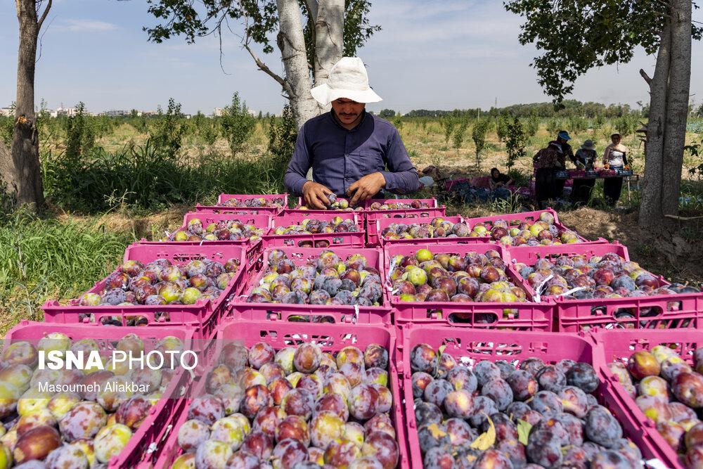 باغ سیب مهرشهر در گذر بهار و تابستان + عکس