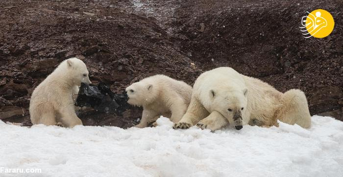 بچه های خرس قطبی در حال خوردن کیسه زباله + عکس