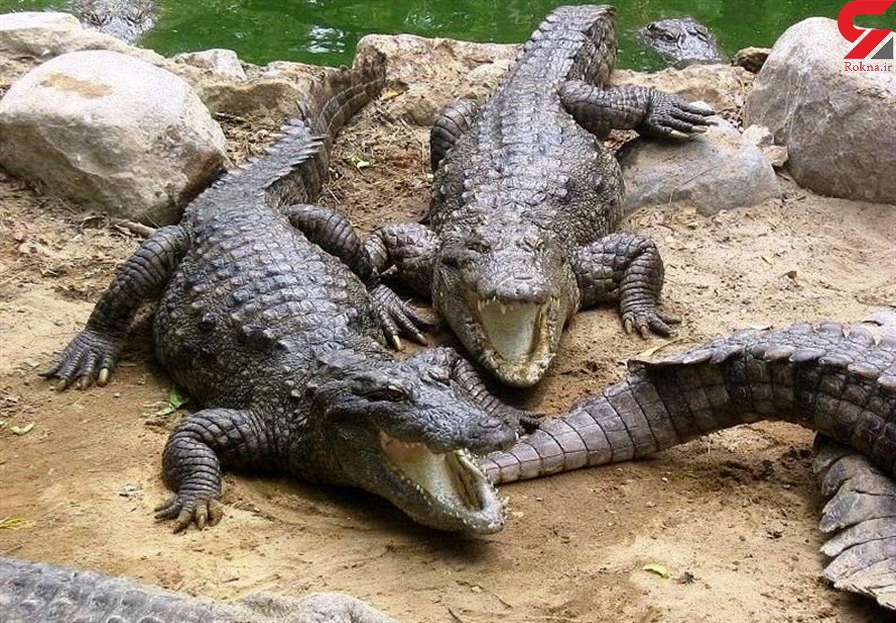 تغییر رفتار خطرناک گاندوها /  رفتارهای تمساح ها تهاجمی است / سیستان و بلوچستان