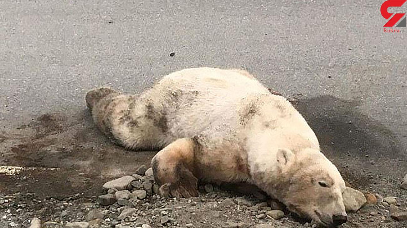 حمله مرگبار خرس قطبی به گردشگر هلندی