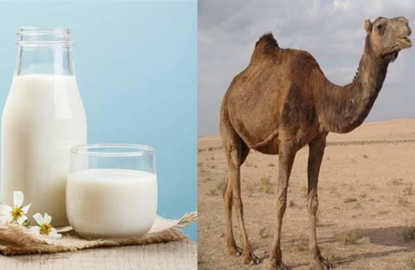 شیر شتر و دیابت