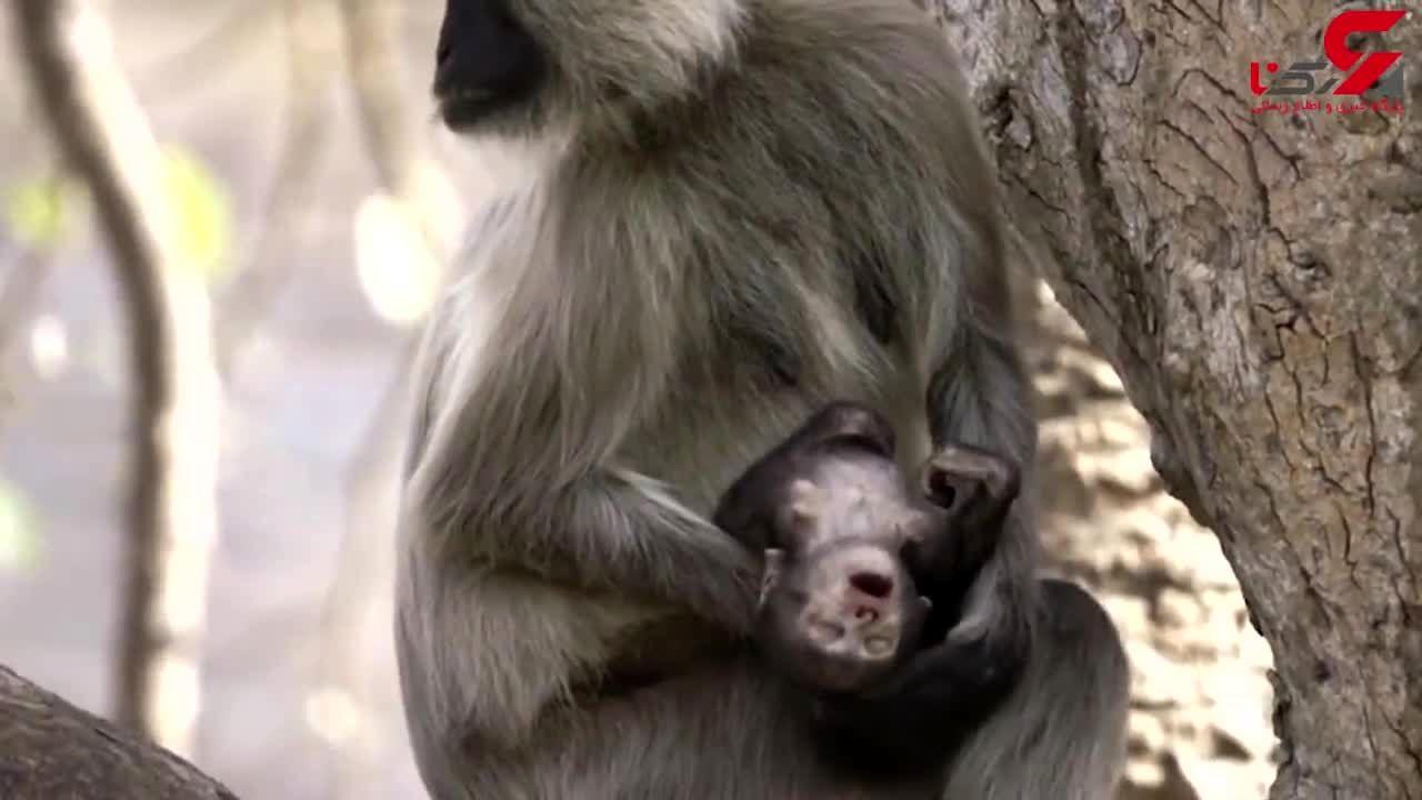 فیلمی دردناک از اشک های میمون مادر برای فرزندش