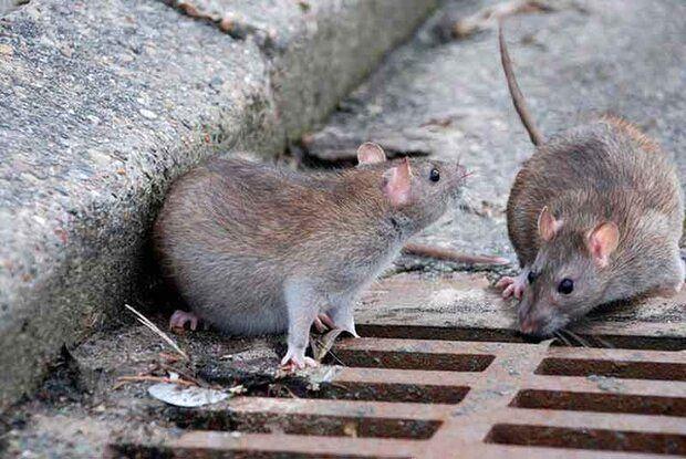 هجوم موش ها به خانه ها بعد از فراگیری کرونا