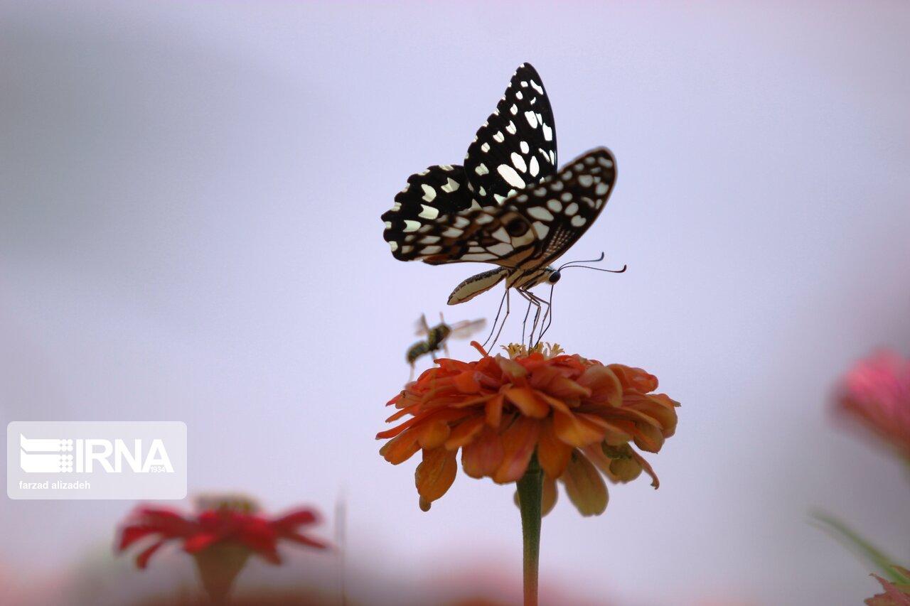 همنشینی گلها و پروانهها در طبیعت ایلام + عکس