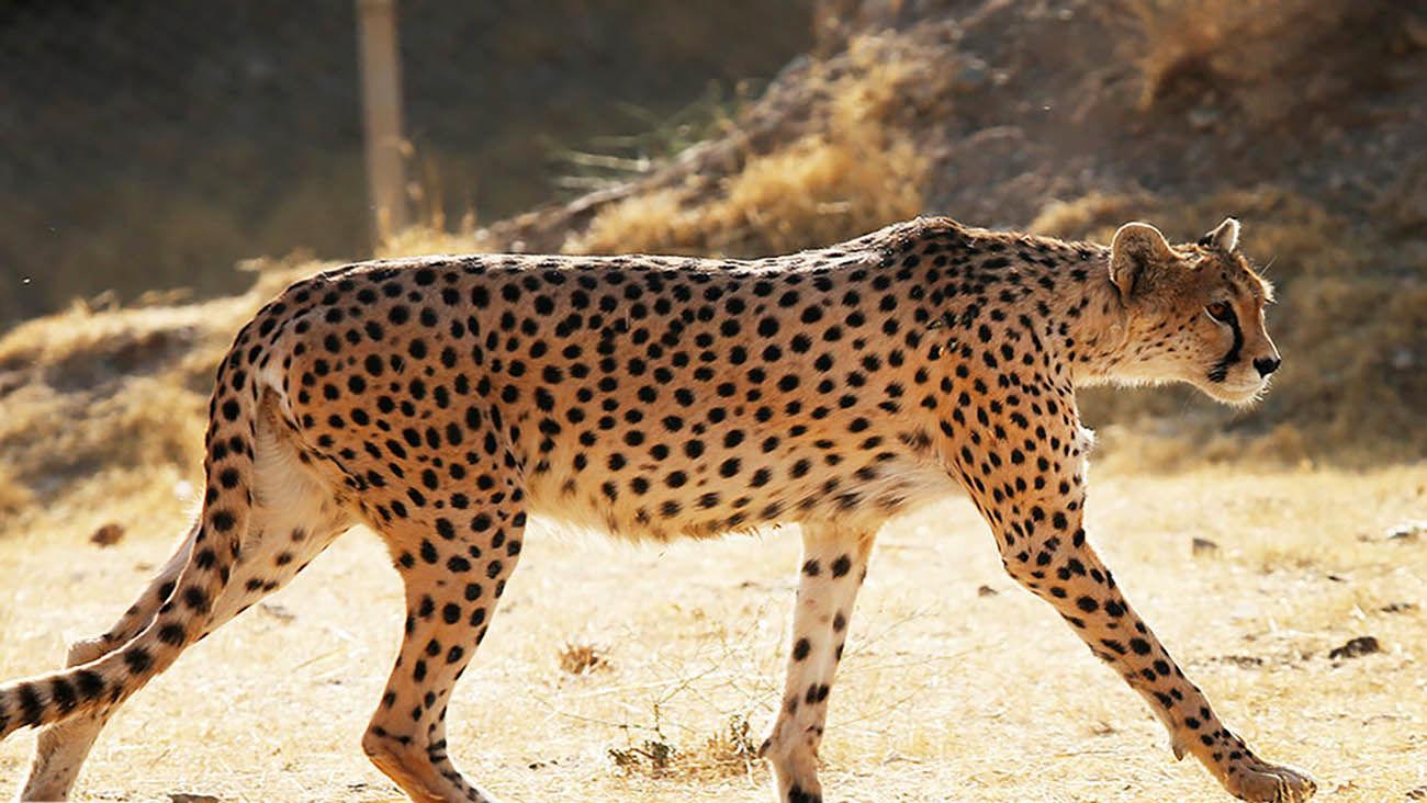 شناسایی ۲۱ قلاده یوزپلنگ در سمنان