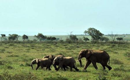 دلیل تلف شدن ۱۲ بچه فیل چیست؟
