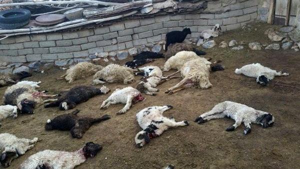 تلف شدن ۲۸۰ راس گوسفند توسط گُرگ ها