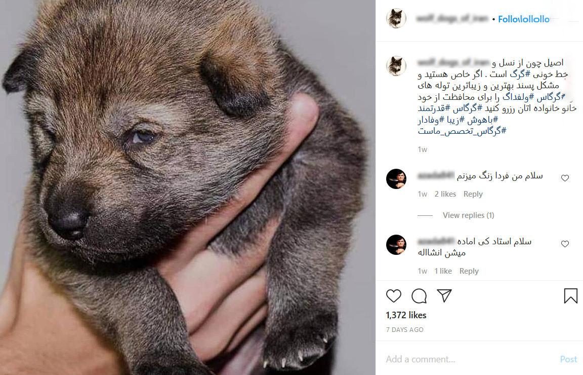 جنجال فروش توله گرگ ها به بچه لاکچری های ایران + تصاویر