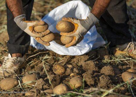 ضرورت صادرات ۵۰۰ هزار تن سیب زمینی