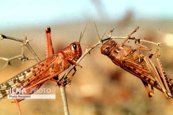 آخرین وضعیت حمله ملخهای مهاجم به کشور/ انتظار افزایش هجوم با شروع بارندگیها