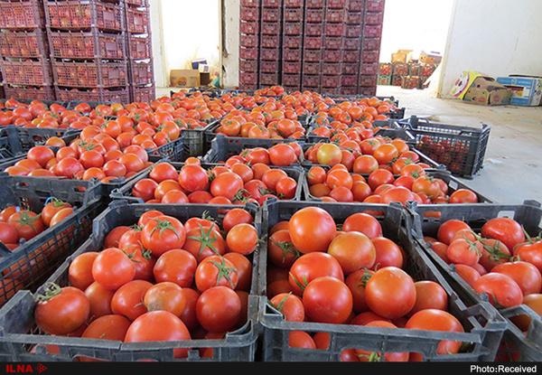 آغاز توزیع گوجه فرنگی ۱۱ هزار تومانی در میادین میوه و تره بار