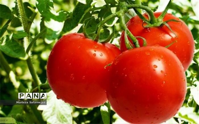 آغاز عرضه گوجه ۱۱ هزار تومانی در میادین میوه و ترهبار تهران