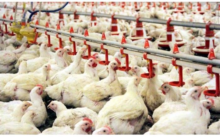 برای تامین مرغ باید ذخایر استراتژیک کشور افزایش یابد