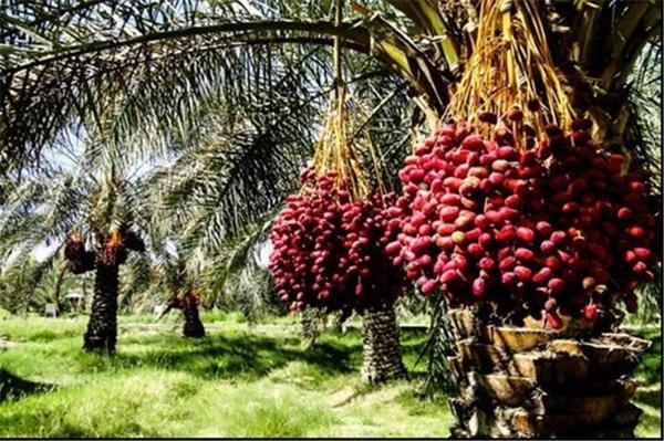 معاملات گواهی سپرده خرما به زودی راه اندازی میشود