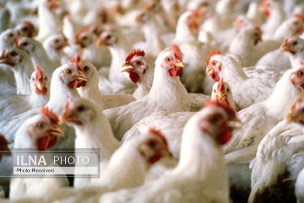 نتیجه فشار بر مرغداران تعطیلی مرغداریها و واردات است/ سیاستهای غلط دولت عامل گرانی مرغ
