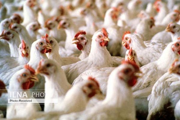 تحلیل چالشهای توزیع و تأمین خوراک مرغداریهای کشور
