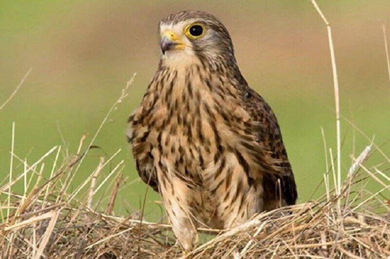 چهار گروه صیاد حرفهای پرندگان شکاری در خراسان رضوی منهدم شدند