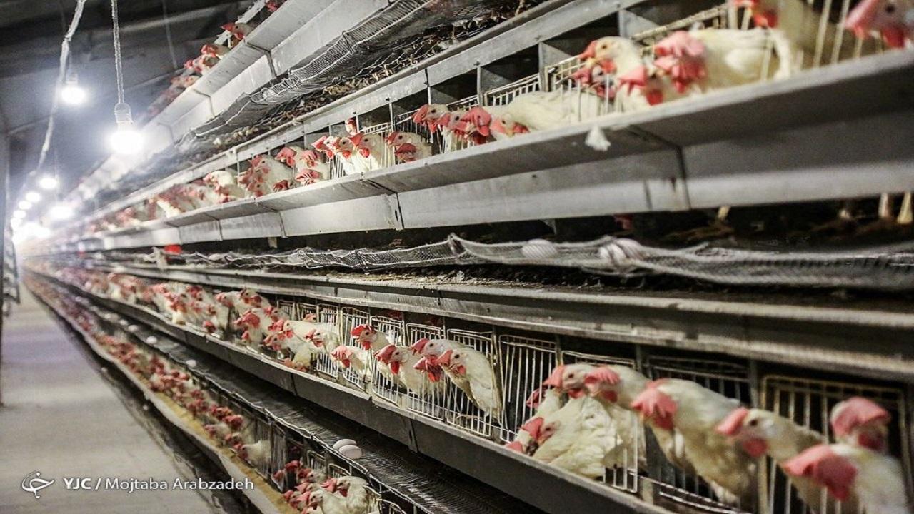 کاهش ۱۰ هزار تومانی قیمت مرغ در بازار