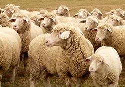 عرضه گوسفند ایرانی ۲ برابر قیمت واقعی به کشورهای عربی