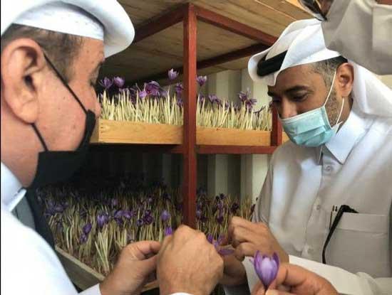 کاشت زعفران در قطر با کمک ایرانیها