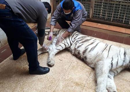 ببر معروف باغ وحش ارم کشته شد + عکس