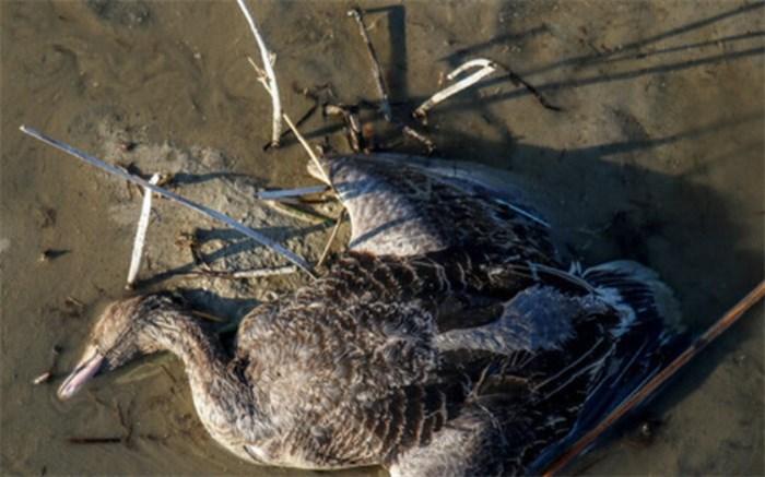تالاب میقان، تنها زیستگاه درگیر آنفلوآنزای پرندگان در استان مرکزی