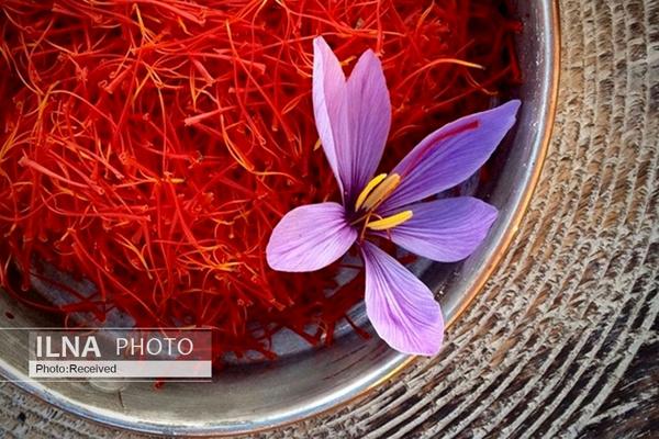 خروج پیاز زعفران از کشور ممنوع است/ انتقاد از حضور سفیر در افتتاح گلخانه قطری با زعفران قاچاقشده ایرانی